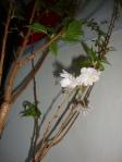 Kanzan-Blüte