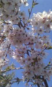 Tokyo Cherry-Blüten